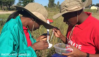 Two people counting mosquitoes in a ladle of water